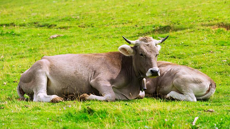 mucca